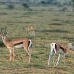 Female Grant's gazelles, Serengeti Plain